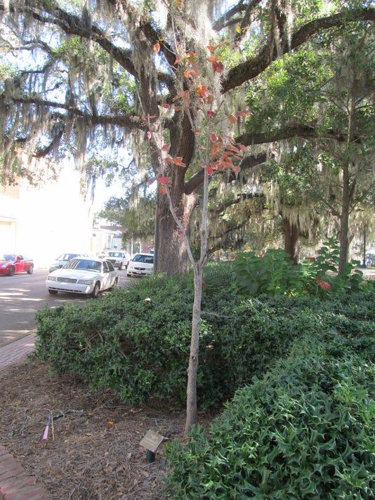 Downtown tree.JPG