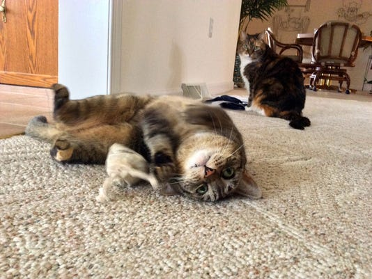"""John Boyle of York submitted this photo to the YDR Animals gallery Mar. 18. Boyle writes, """"Mischief Breaking in a New Bag of Catnip."""""""