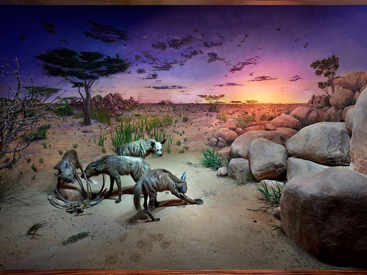 636324750832445311-12Striped-Hyena-Diorama-Aaron-delehany.jpg