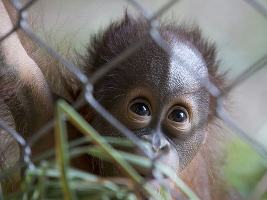 Baby Oranguatan's First Birthday