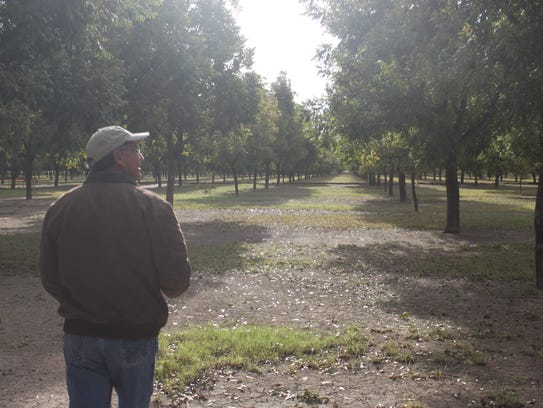 Dean Calvani inspects his pecan orchard, Oct. 31, at