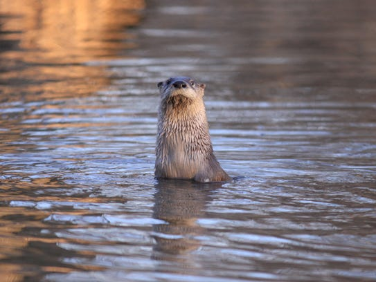 This curious river otter was spotted in the waters
