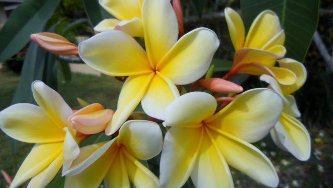 Fragrant yellow and white plumeria thrives in Southwest Florida