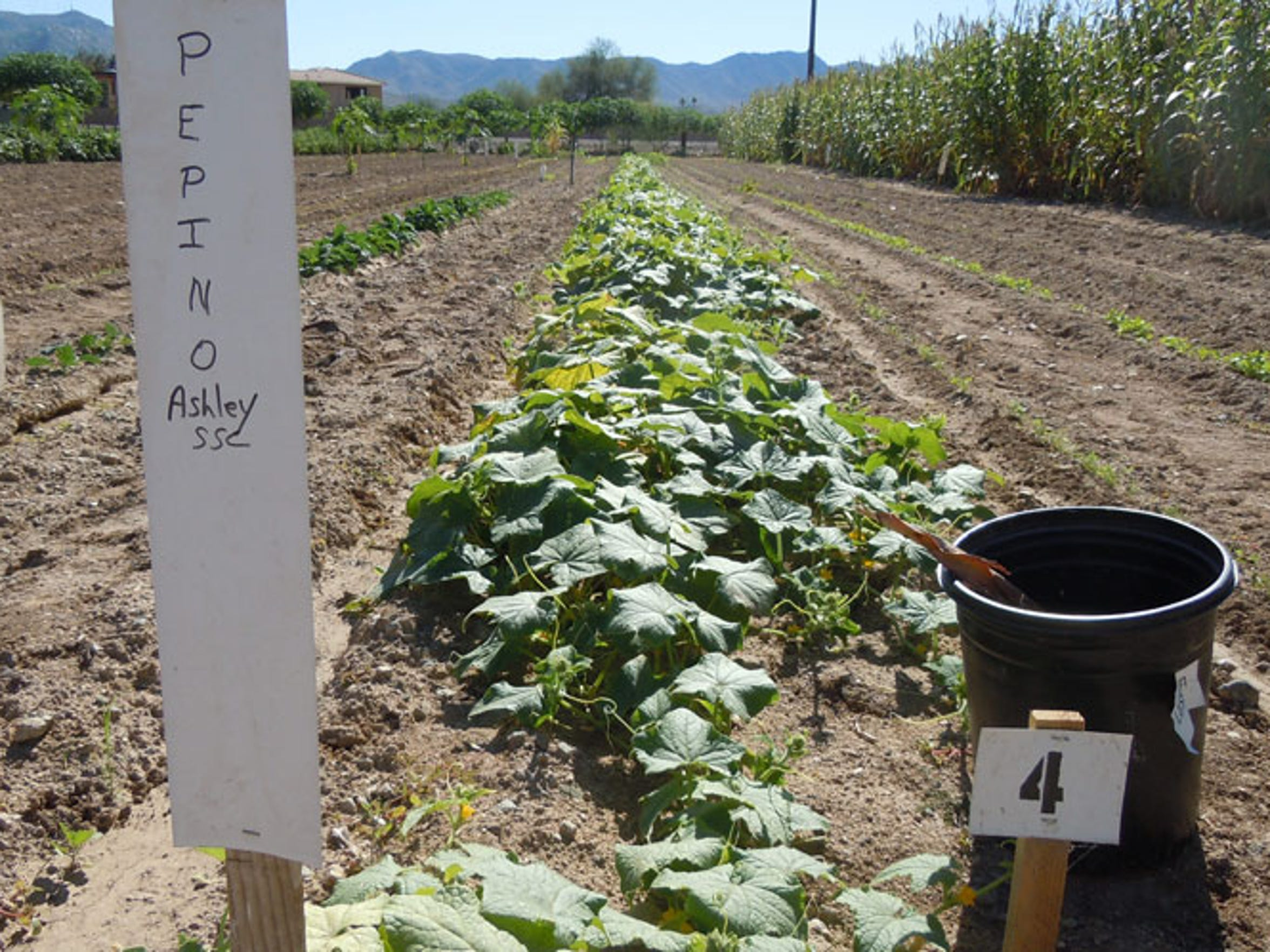 A plot of pepino, grown in the Orchard Community Learning