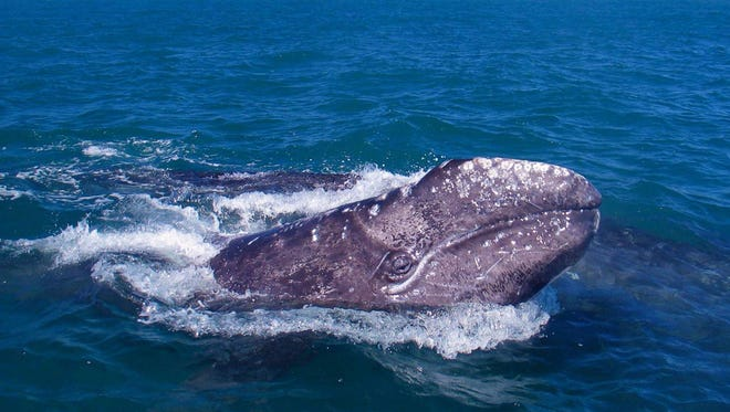 Whales in particular are good at bringing phosphorous from the ocean deep to the surface when they feed on the floor and return to the surface to breathe and poop.
