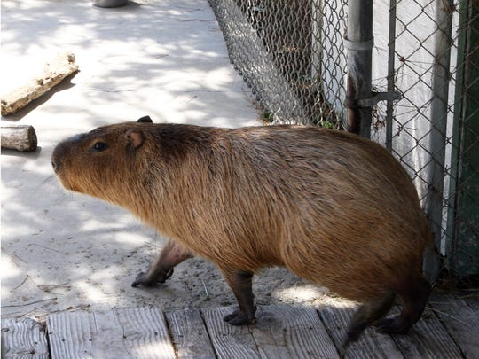 Chipper the Capybara