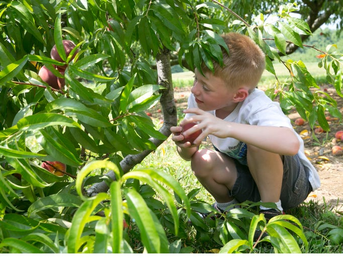 Peach picking at Battleview Orchards in Freehold .