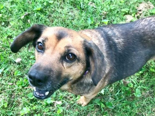Lettie is a 5-year-old, 25-pound, spayed female beagle/shepherd