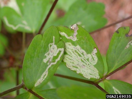 636318292476528953-columbine-leaf-miner-Lisa-Ames-University-of-Georgia-Bugwood.org-2169035-SMPT.jpg