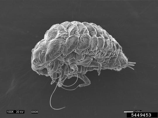 An adult hemlock woolly adelgid, removed from its host tree and cleaned for magnified imaging.