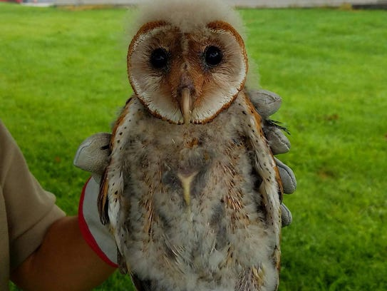 Get a rare view into an Indiana barn owl nest