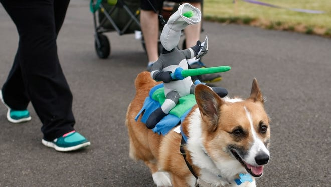 A Corgi, with a knight on its back, takes part in the 1.5K fun walk during the Willamette Humane Society Willamutt strut, at Riverfront Park, on Saturday, June 14, 2014.