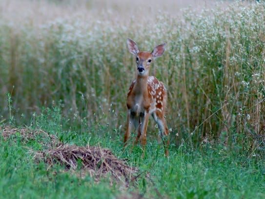 A fawn steps out of the high grasses of farmland in