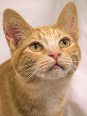 ACTion Programs for Animals is offering cat and kitten adoptions for just $20 until the end of March 2018. This cat is one of many available for adoption.
