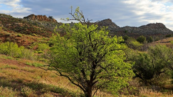 The morning sun illuminates a tree along the White Reef Trail in the Red Cliffs Recreation Area.