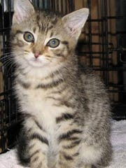 Beauregard is a gorgeous tabby boy but a little shy just having arrived at the satellite shelter.  After a few days he will relax and learn that humans are not bad.  He is very sweet and loves hanging out with his brother Bacchus.  His shelter number is, AFS  94721 (Corallo kitty)