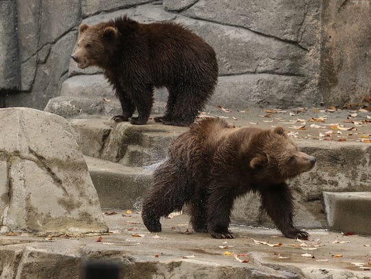 New bears Munsey and Boda frolic in their new digs