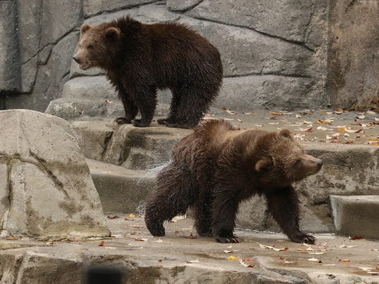 Wildwood bears Munsey and Boda frolic in their new digs.