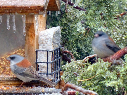 Two junco  are ready to chow down on seeds and suet.