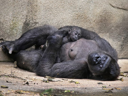 Elle, is a female Western lowland gorilla, born August