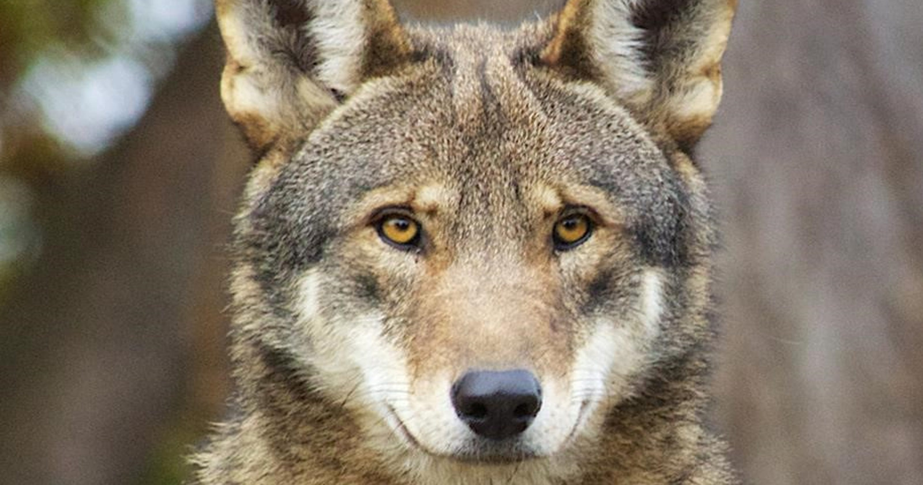 Revised red wolf recovery plan slated for 2018