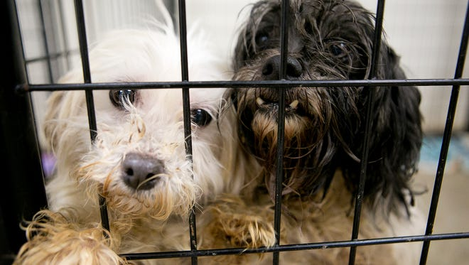 Two of the 28 dogs that were rescued from a puppy mill in central Wisconsin share a kennel at the Clark County Humane Society in Neillsville, Tuesday, Dec. 2, 2014.