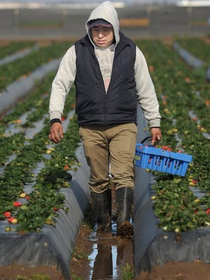 ROB VARELA/THE STAR Simplisio Bautista, of Oxnard, sloshes through the mud and water in a furrow as he picks strawberries in a Conroy Farms field in Oxnard on Thursday.