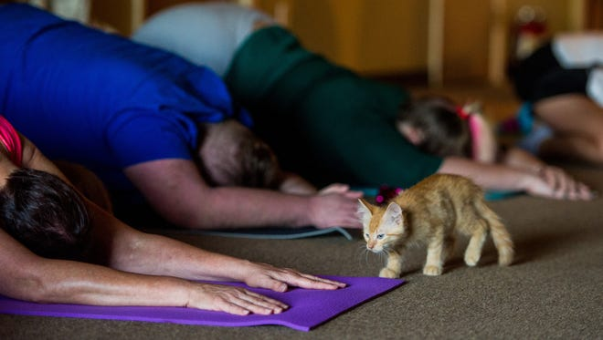 during a Yoga with Cats session at Jerusalem Christian Church in Lafayette, La., Tuesday, Sept. 22, 2015. The yoga class is held by Acadiana Animal Aid and the church.