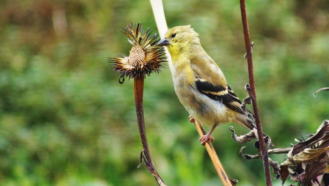 The goldfinches dine on the seed heads of coneflowers and other perennials in winter.