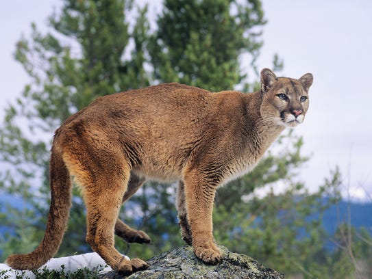 A file photo showing a mountain lion perched on a rock