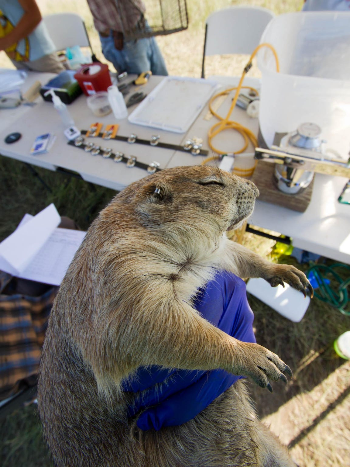 A processed prairie dog recovers from isoflurane gas