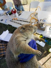 A processed prairie dog recovers from isoflurane gas anesthesia and awaits release at a capture site.