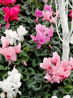 Cyclamen combines beautiful blooms with variegated heart-shaped leaves.