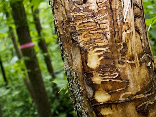 Tracks from Emerald Ash Borers larvae can be seen in an ash tree in Wisconsin. AP