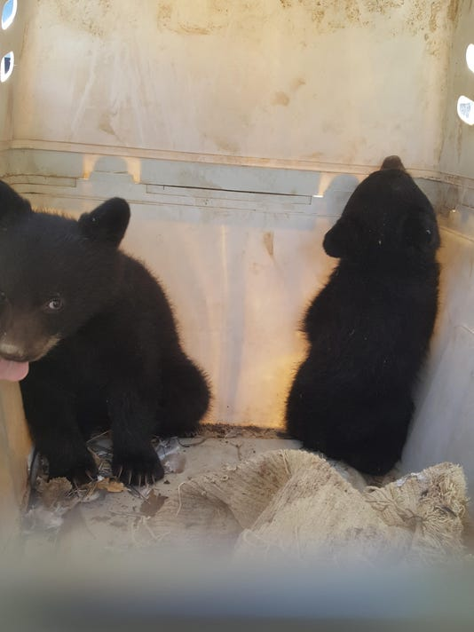Two orphaned black bear cubs rescued from den after mom hit by car