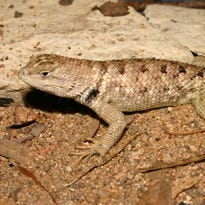 Wild About Texas: Twin-spotted Spiny Lizards are wary, often hidden