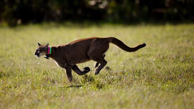 A Florida panther sprints through a field after being released by the state Fish and Wildlife Commission.