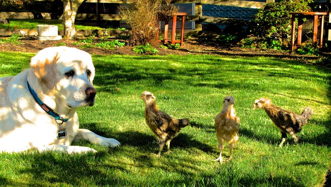 A family dog pulling guard duty for some free-ranging chicks on a yard near Langley, Washington on March 31, 2013.
