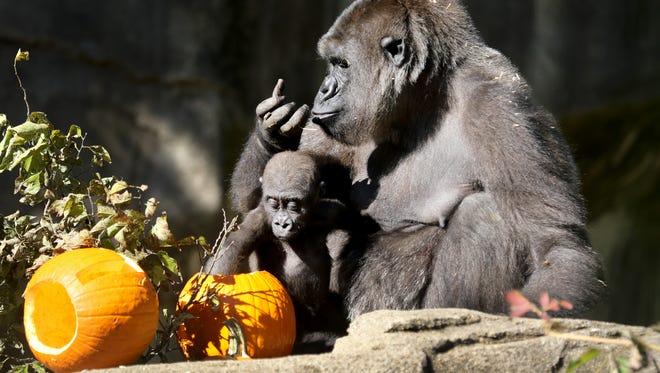 Western lowland gorillas, Anju and her one-year-old daughter, Elle, enjoy pumpkins filled with treats during HallZOOween on Oct. 7, 2016.
