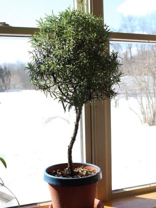 Gardening-Rosemary Tree