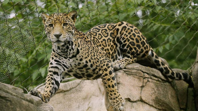 Milan, a female three-year-old jaguar, is new to the Akron Zoo Friday June 5, 2020 in Akron, Ohio.