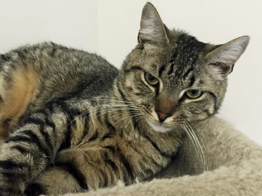?Spink?, 8 months, is a male? brown tabby ?who spends his days with another cat named Franklin.