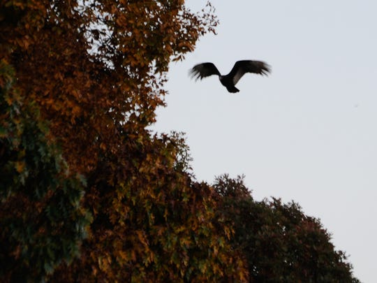 View of one of the turkey vultures that have plagued the Chimney Hill development in Felton.