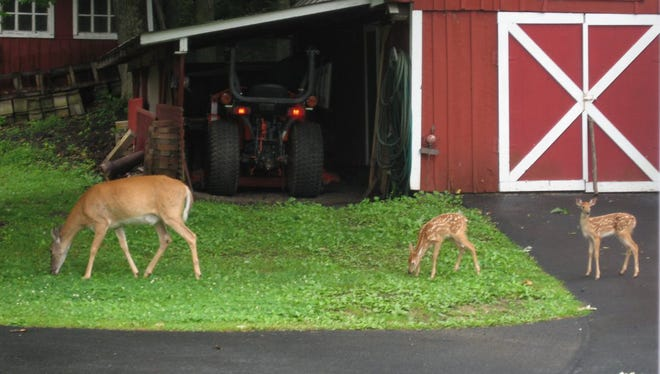 Nancy Heller of Gettysburg submitted this photo of a mother deer and twins in her backyard.
