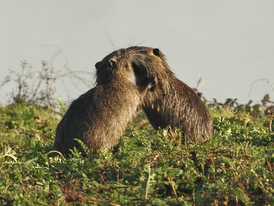 A pair of immature nutria have a wrestling match at