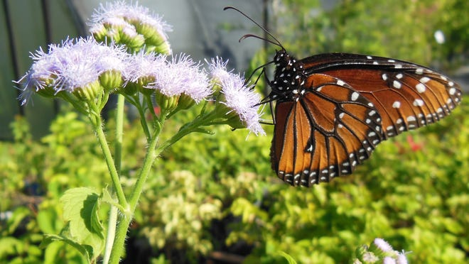 Mistflower is a disdained weed in many landscapes but butterfly enthusiasts will purposely plant it to provide nectar for the butterflies.