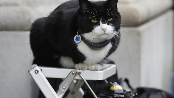 Palmerston, the Foreign Office cat, sits on a photographers ladder in 2019.