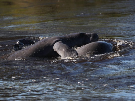 Hundreds of people came out in the cold weather to watch manatees swim and play in the warm water at Manatee Park in east Fort Myers on Friday.