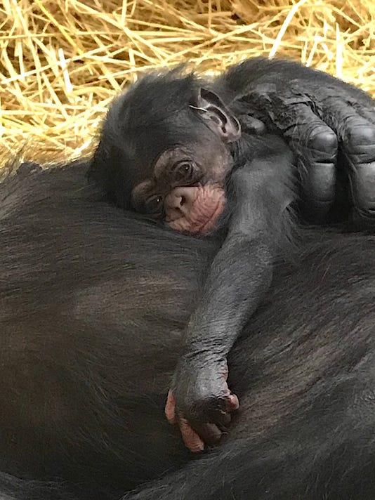 Detroit Zoo's days-old chimp debuts Wednesday