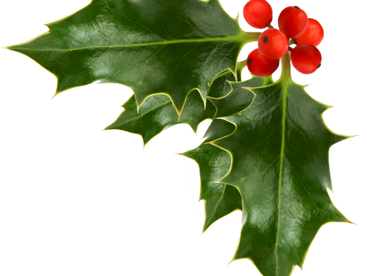 636162742098835433-Christmas-Holly-Pictures-1-1.png